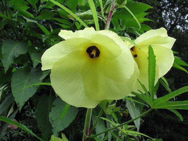 hibiscus abelmoschus