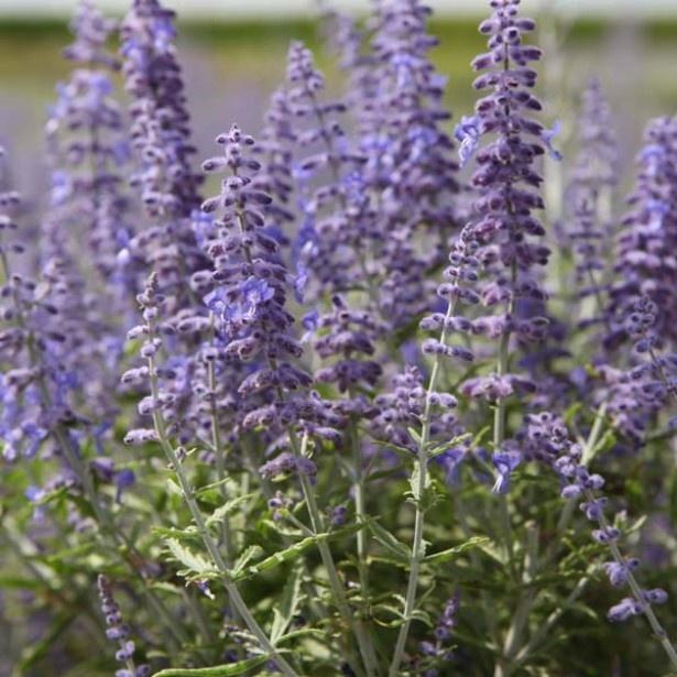 perovskia_atriplicifolia_'lacey_blue'